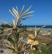 Trigg Beach Prickle Lily Acanthocarpus preissii